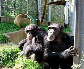 Chimp animal enclosure